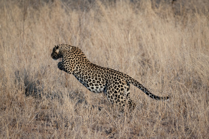 Leopard jumping/pouncing into grass at Londolozi. Cjolynnejones 180906 191471