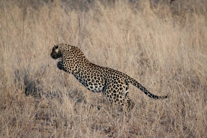 Leopard jumping/pouncing into grass at Londolozi. Cjolynnejones 180906 191471