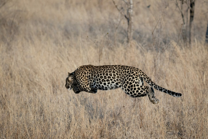 Leopard in full pounce off the ground at Londolozi. Cjolynnejones 180906 191472