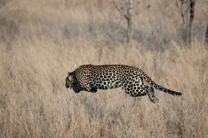Leopard in full pounce off the ground at Londolozi. Cjolynnejones 180906 191472