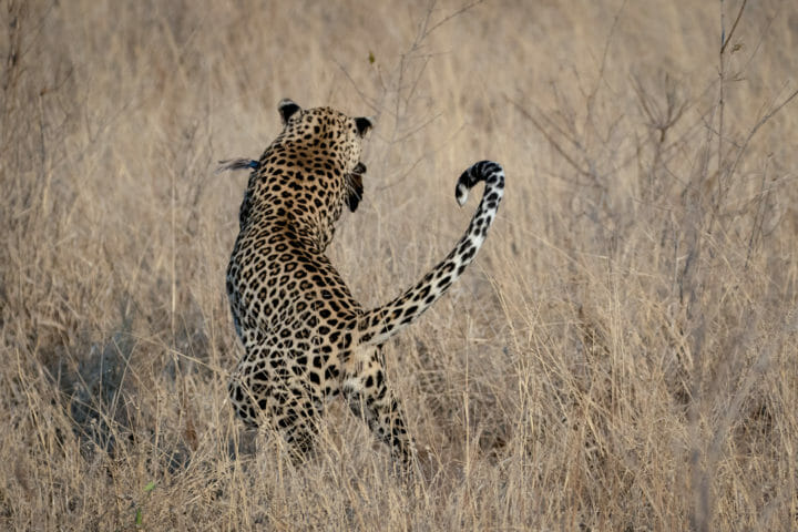 Londolozi's Ximungwe female leopard catching a francolin bird.