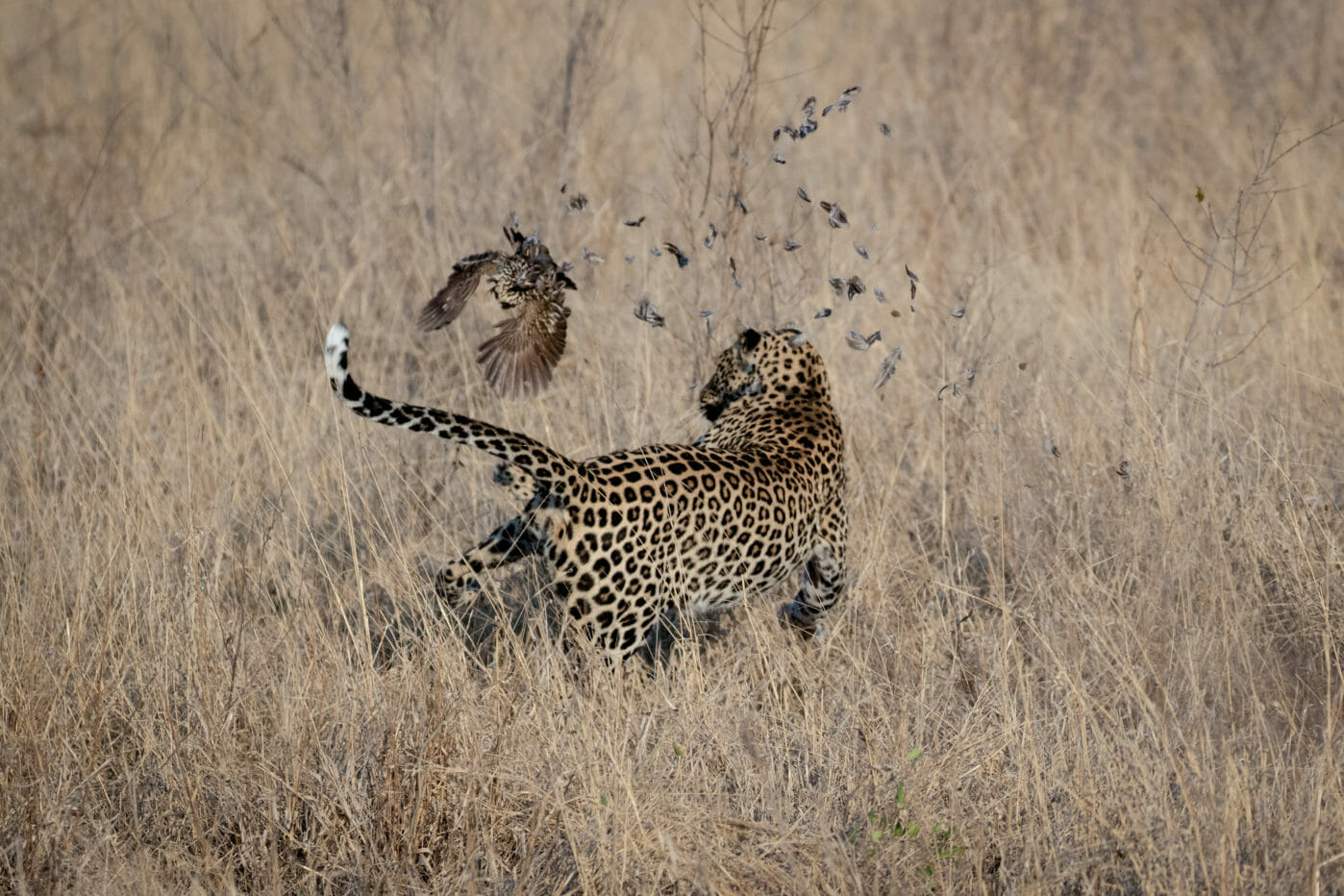Leopard tries to catch a francolin and misses the bird at Londolozi