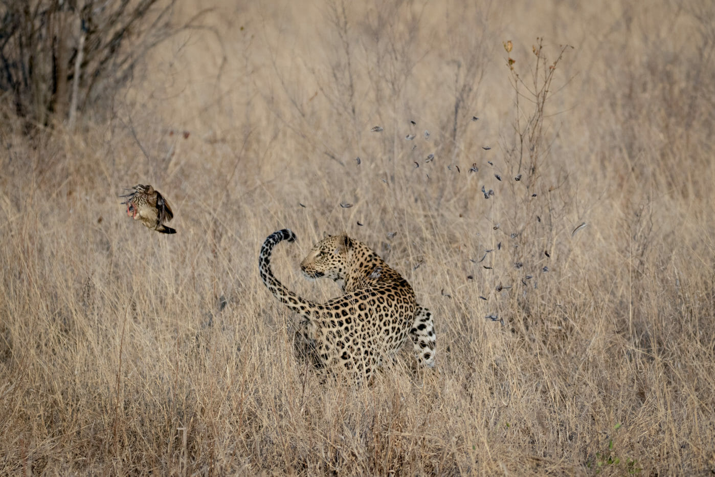 Francolin manages to escape being caught by a leopard at Londolozi