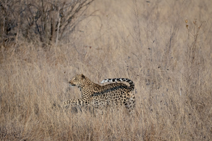 Leopard tries to catch a francolin bird and is left behind with feathers