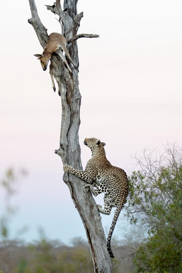 Londolozi's nanga female leopard jumps up a tree to her kill, a duiker