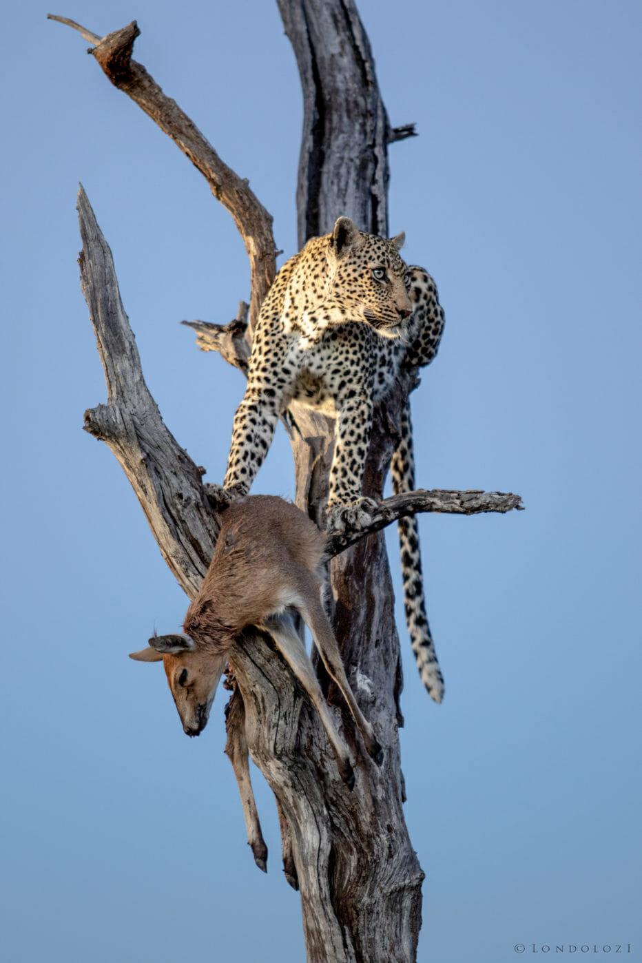 Londolozi's Nanga female leopard sits with her kill, a duiker in a dead tree.