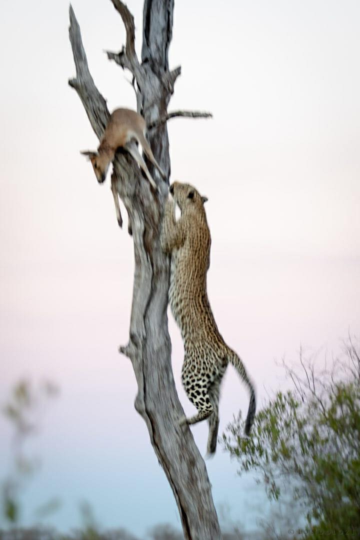Blurry image of Londolozi's Nanga female leopard climbing up a tree to her kill, an duiker