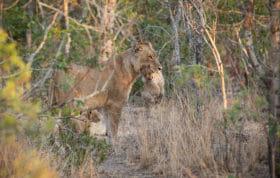 Lioness Carry Cub
