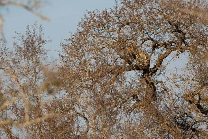 Ndzanzaeni Young Male Leopard sits in a tree at Londolozi