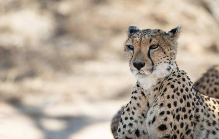 Female Cheetah Injury 2