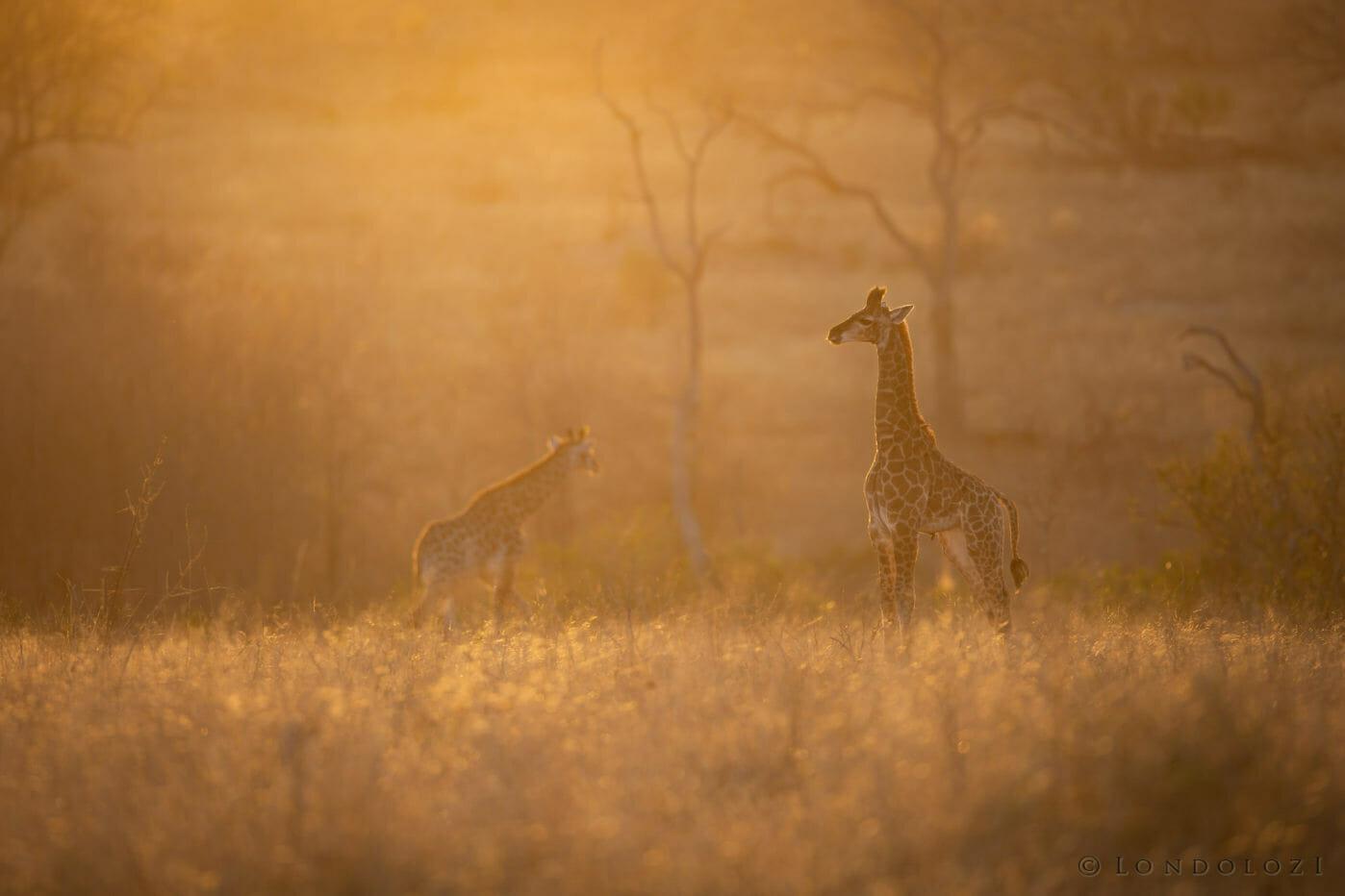 Baby Giraffe Calf silhouette in grassland of Londolozi.