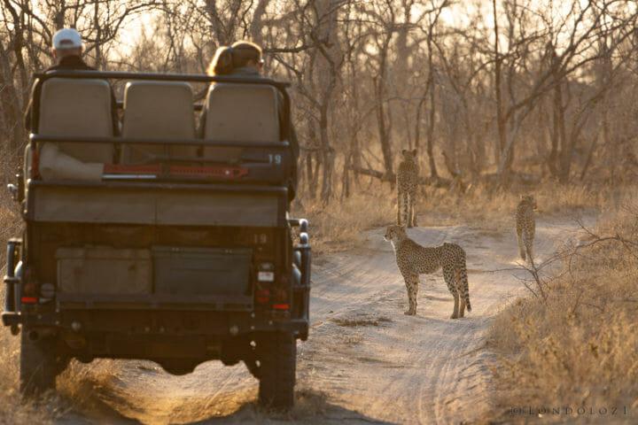 Cheetah Land Rover