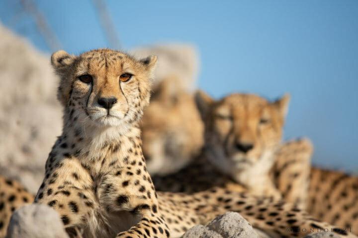 Female Cheetah Cub