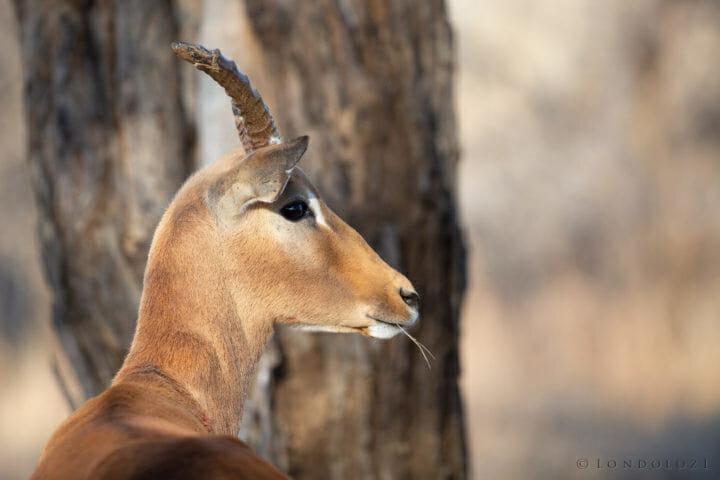 Impala Broken Horn