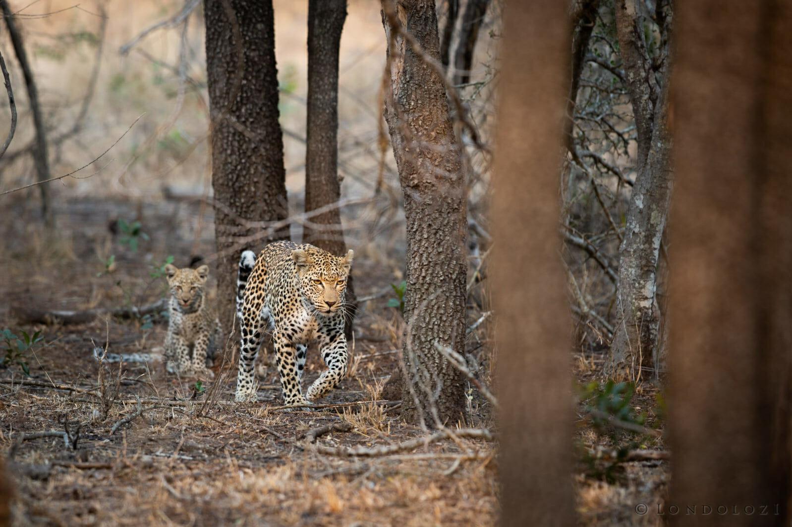 Nkoveni Female Leopard And Cub