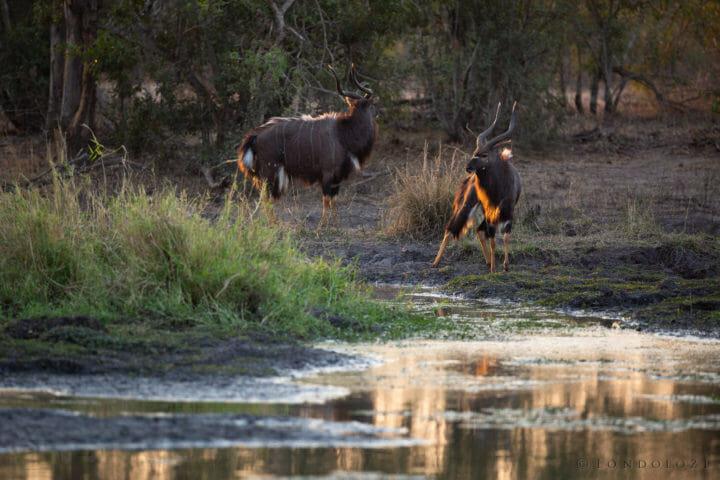 Nyala Bulls
