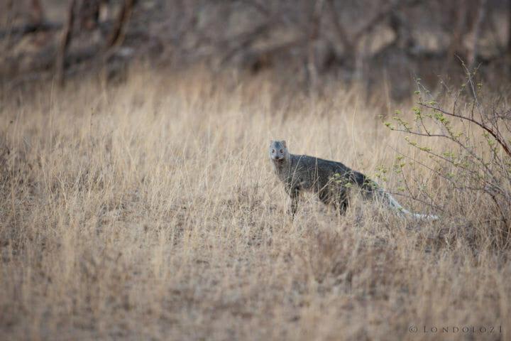 White Tailed Mongoose