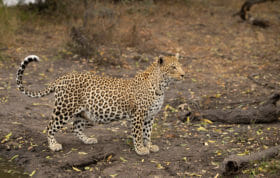 Mashaba Female Leopard 2