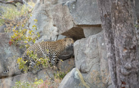 Ximungwe Female Leopard Rocks