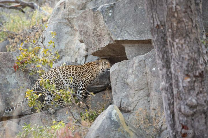 Ximungwe Female Leopard Rocks