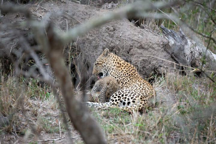 Tamboti Female Leopard Den Cubs