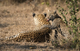 Nkoveni Female And Cub 13 09 2018 Grant Rodewijk 3 Of 5