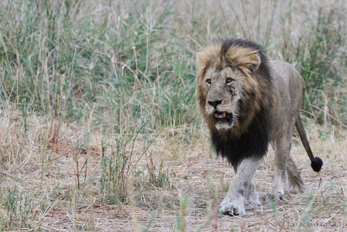 A maned male lion with a scarred face walks past the camera at Londolozi