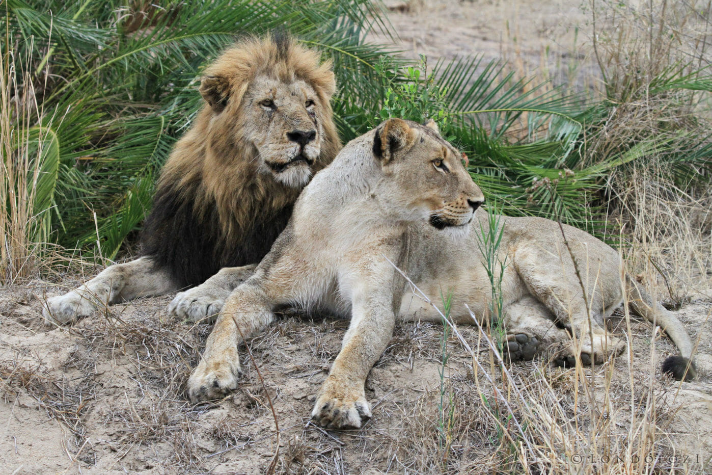 A mating pair of lions, the maned male lion lies behind the female at Londolozi