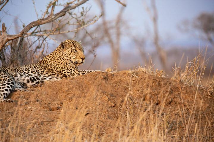 Kashane Male Leopard