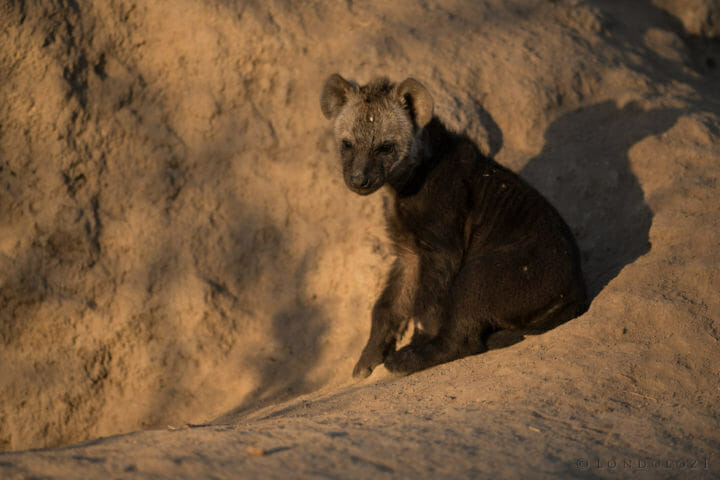 A young hyena pup its at the entrance to its den at Londolozi