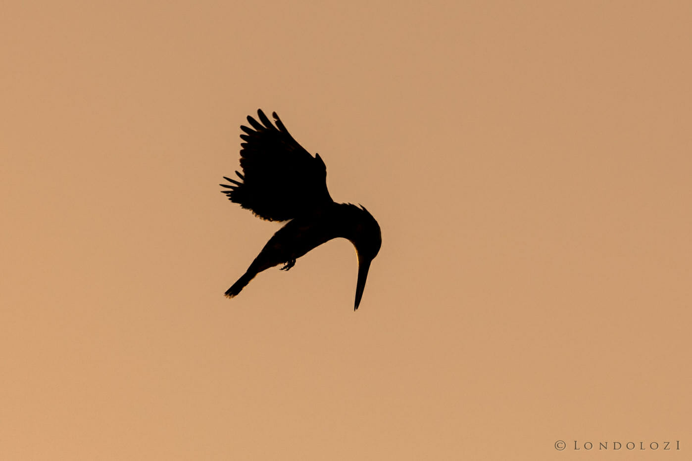 A silhouette of a pied king fisher as it hovers above water against a sunset at Londolozi