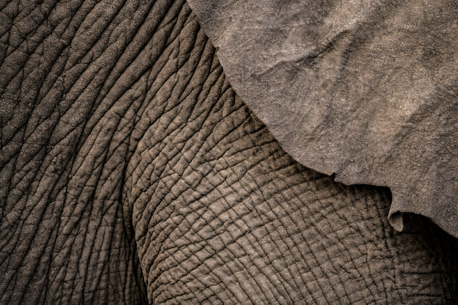 A close up of the texture of an elephant's skin at Londolozi