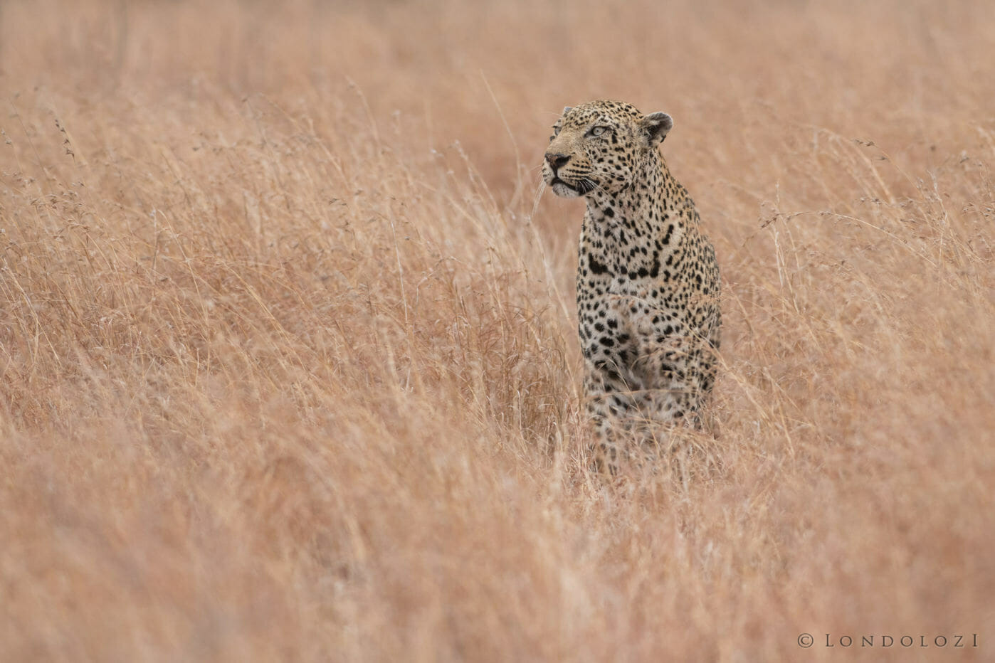 The Kaxane male leopard sits in tall dry grass at Londolozi
