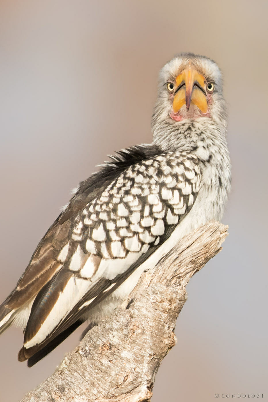A Southern Yellow-billed Hornbill sits on a branch and looks towards the camera at Londolozi