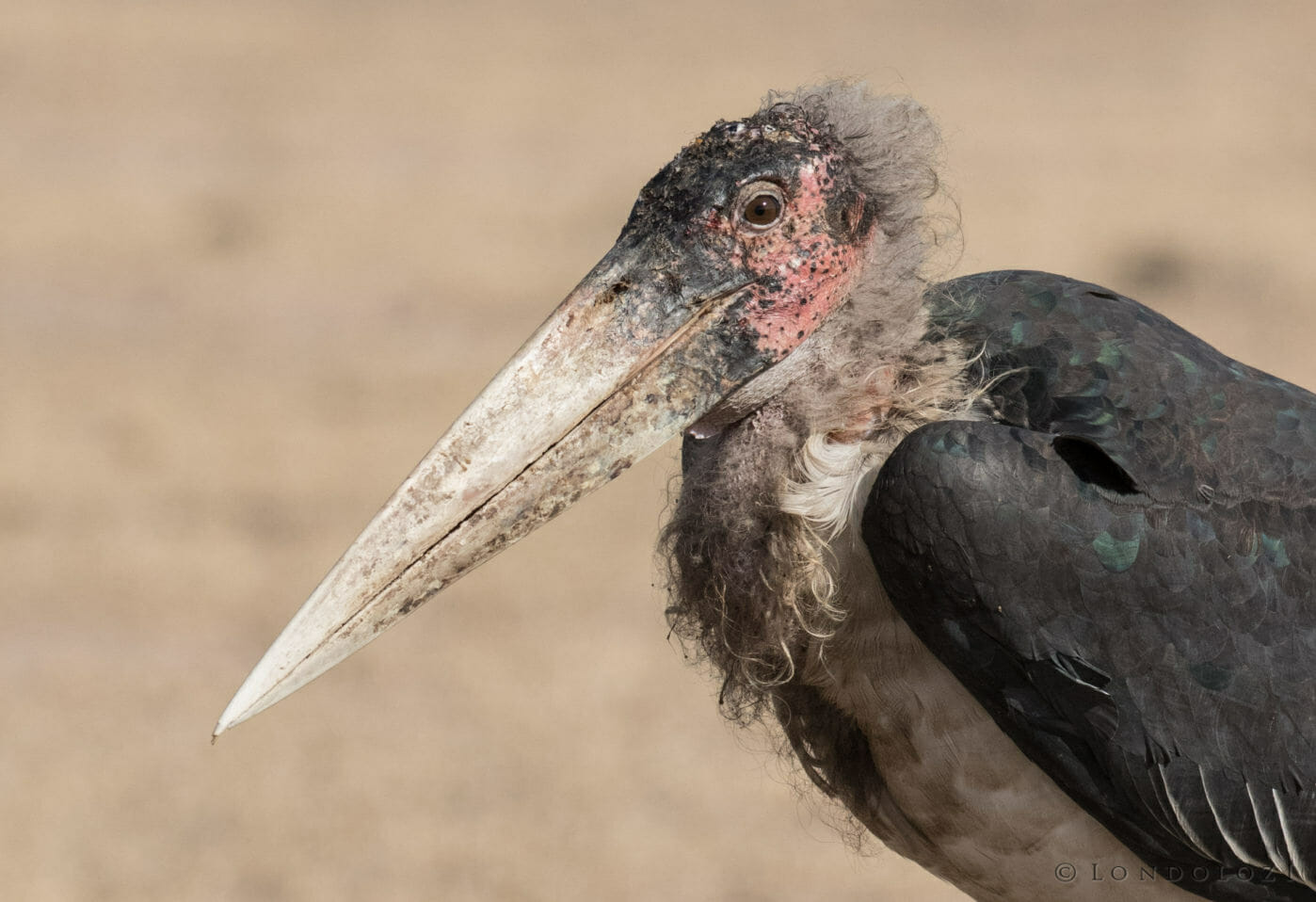 A close up image of the head and beak of a Marabou stork at Londolozi