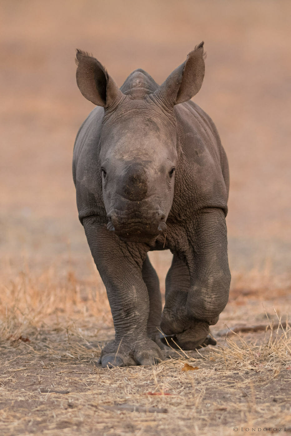 A rhino baby/calf walks towards the camera at Londolozi
