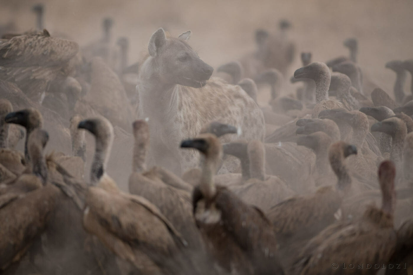 A hyena walks through vultures in dust at Londolozi