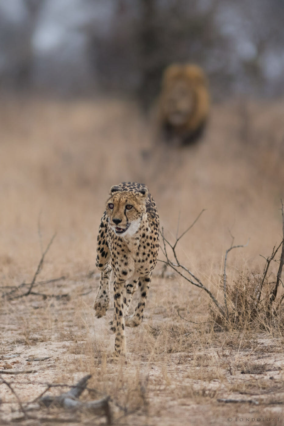 The female cheetah with the silver eye had a brave encounter with a Birmingham male lion at Londolozi