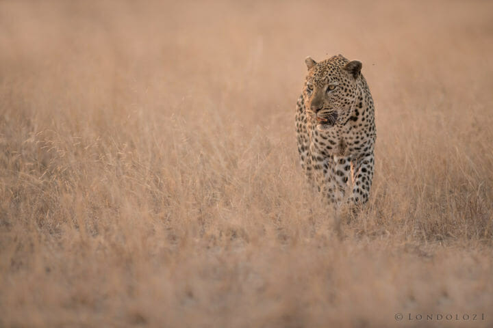 The Flat rock male leopard walks towards the camera in dry, brown grass at Londolozi