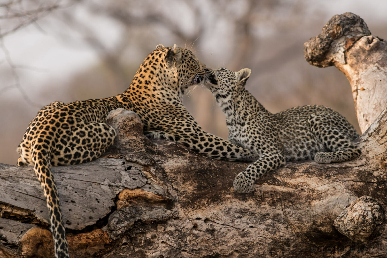 A mother leopard touches noses with her cub at Londolozi