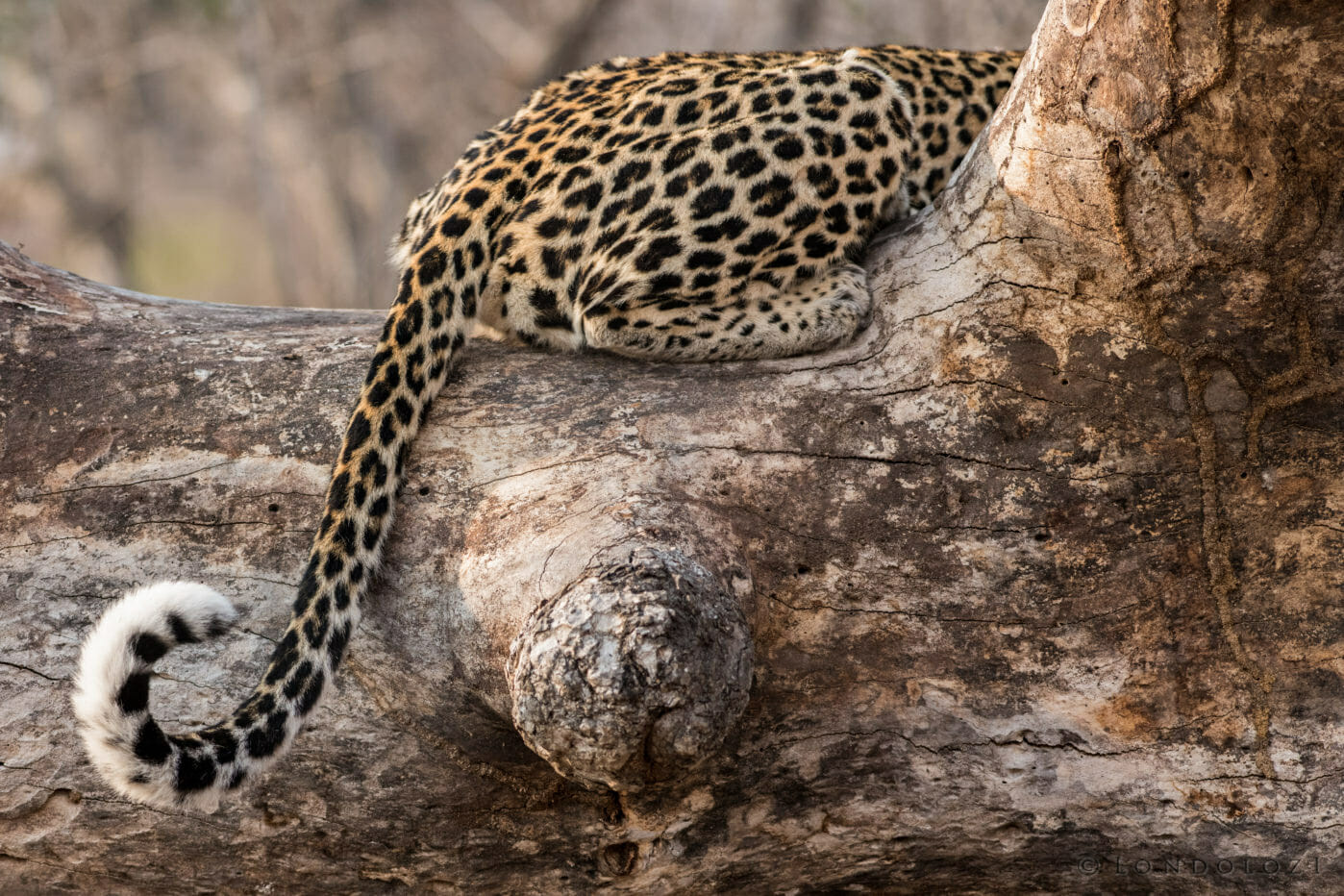 A closeup of a leopards tail draped over a log and curled at its end at Londolozi