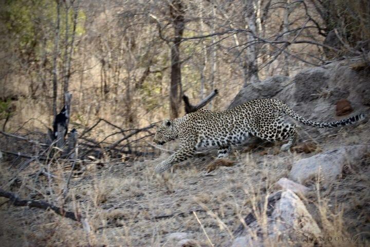 Makomsava Female Leopard Blur Os