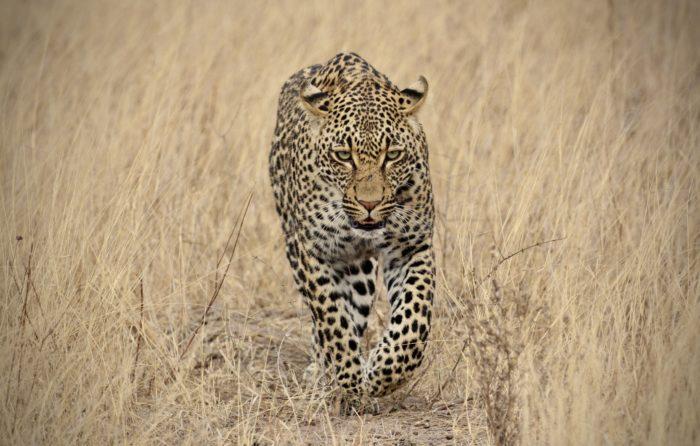 Thamba Male Walk Grass Os