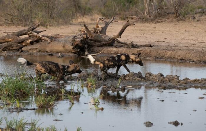 Wild Dogs John Mo 4