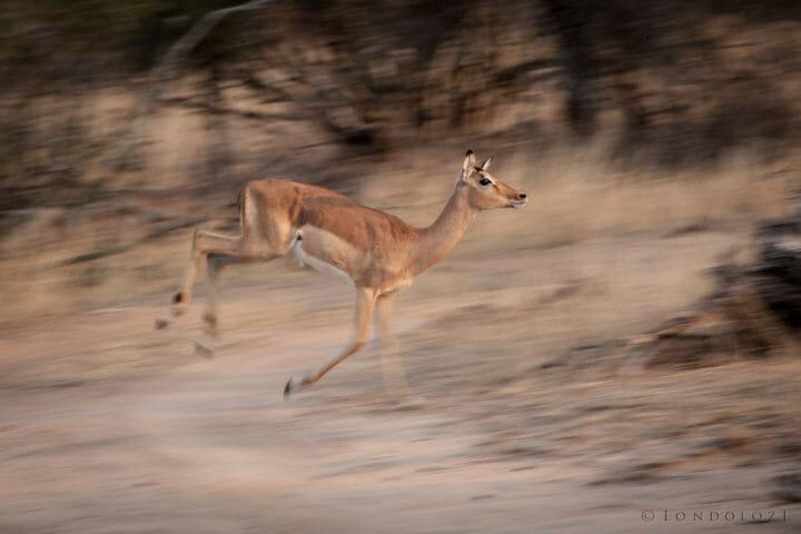 Panning, motion blur, impala ewe, running