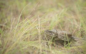 Python Snake Skb