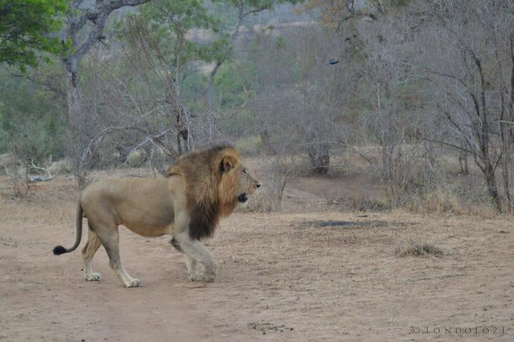 Bimingham Male lion walking at Londolozi