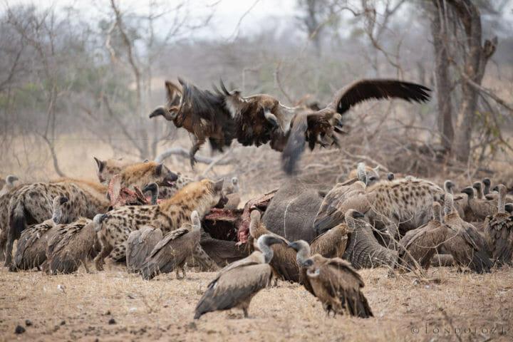 Hyenas Vultures
