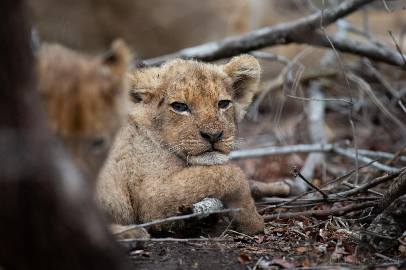 Grumpy Lion Cub Ntsevu
