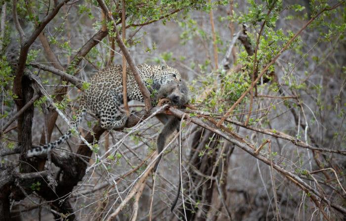 Nkoveni Leopard Cub Monkey 2